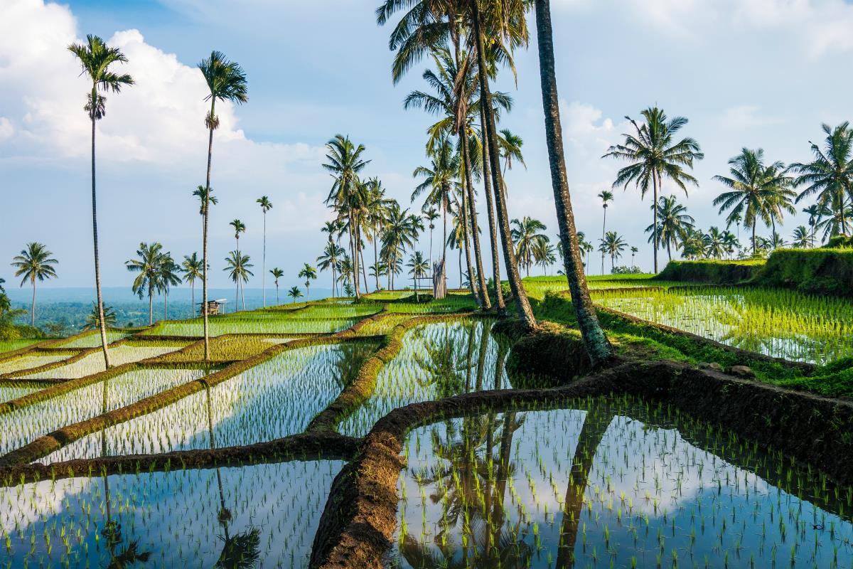 Tarasy ryżowe na Lomboku
