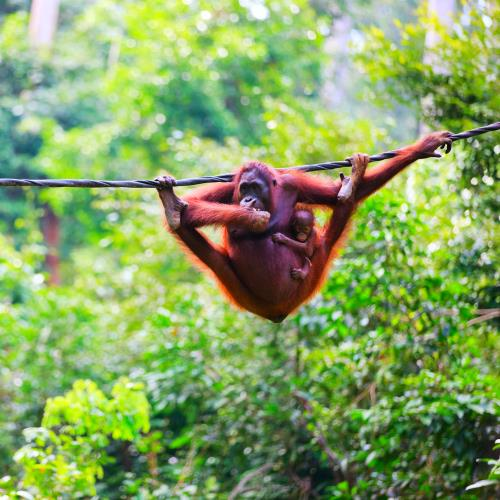 Dżungla na Borneo, orangutany i plaże miniaturka