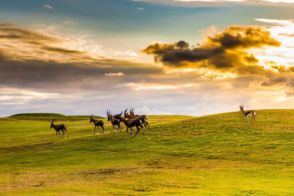 Góry Smocze – Antylopy Eland