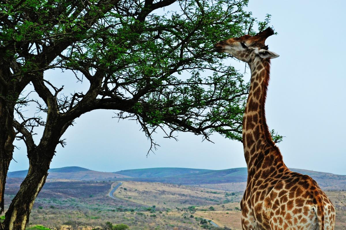 Rezerwat Hluhluwe – Żyrafa