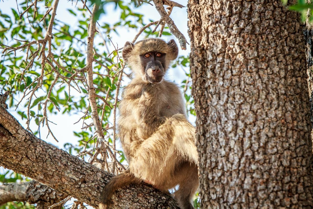 Rezerwat Hluhluwe – Małpa Baboon