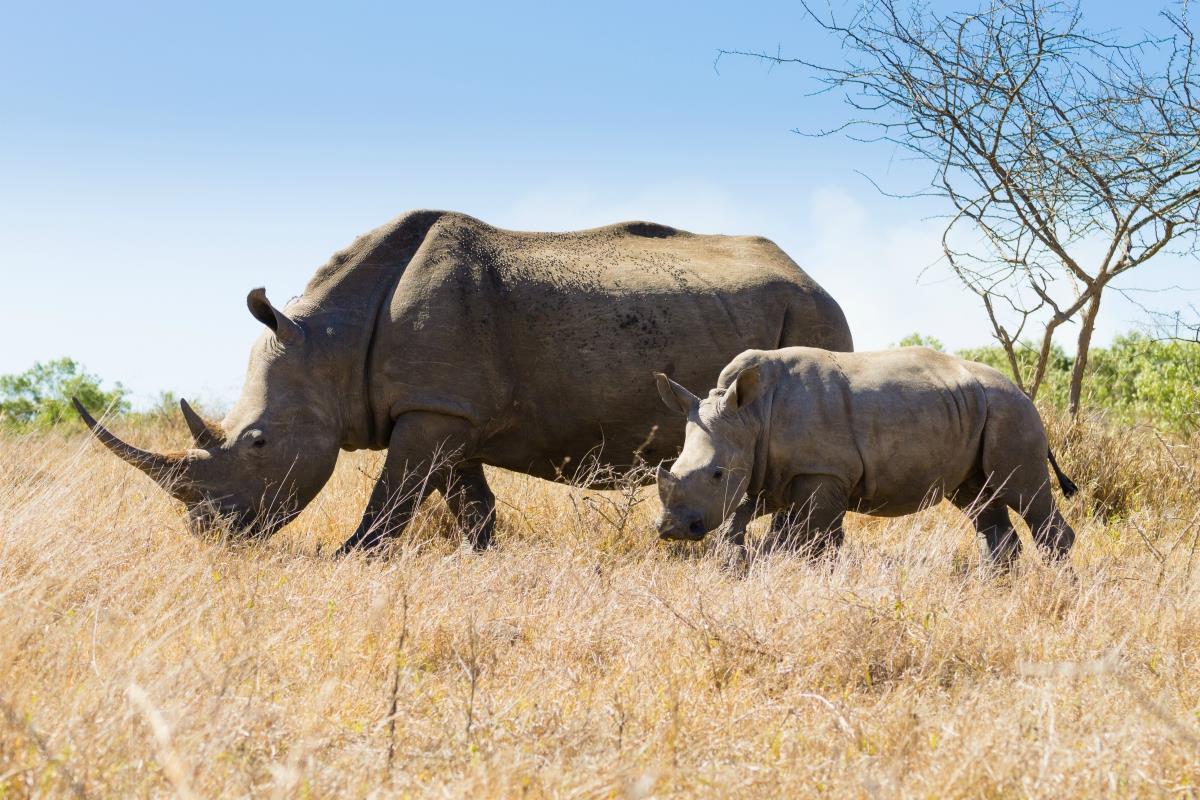 Rezerwat Hluhluwe – Nosorożec Biały