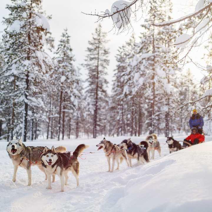 Finlandia – Psie zaprzęgi