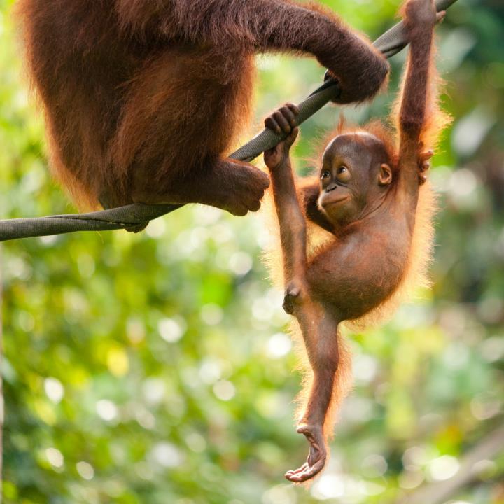 Orangutany na Borneo
