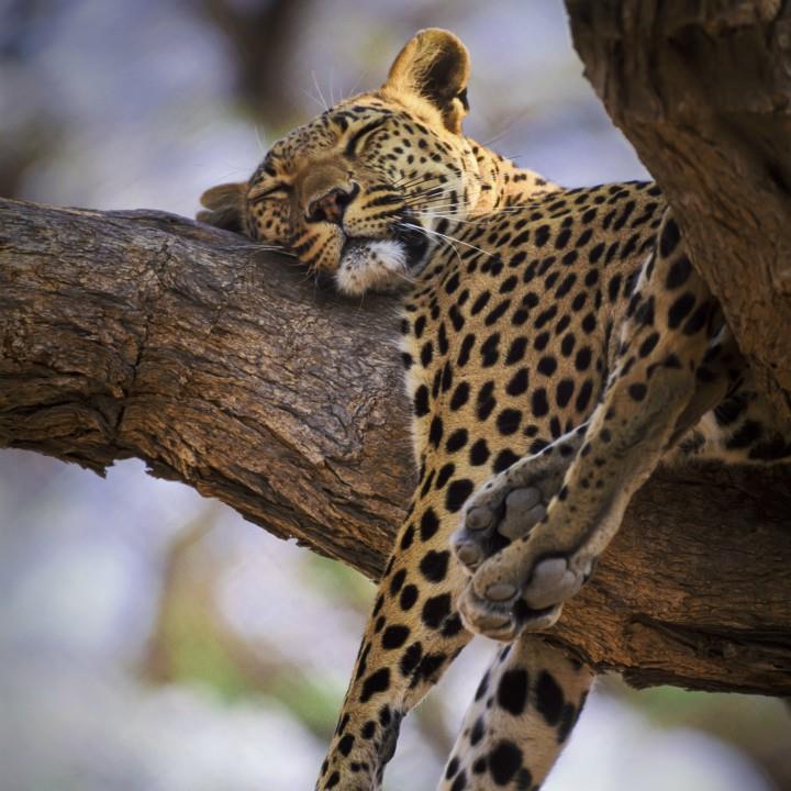 Zabawa z gepardem