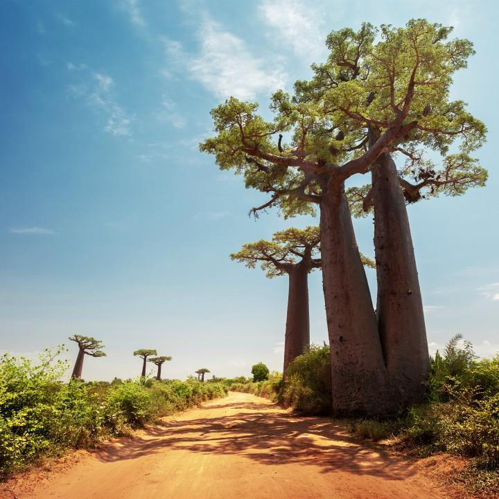 Aleja Baobabów