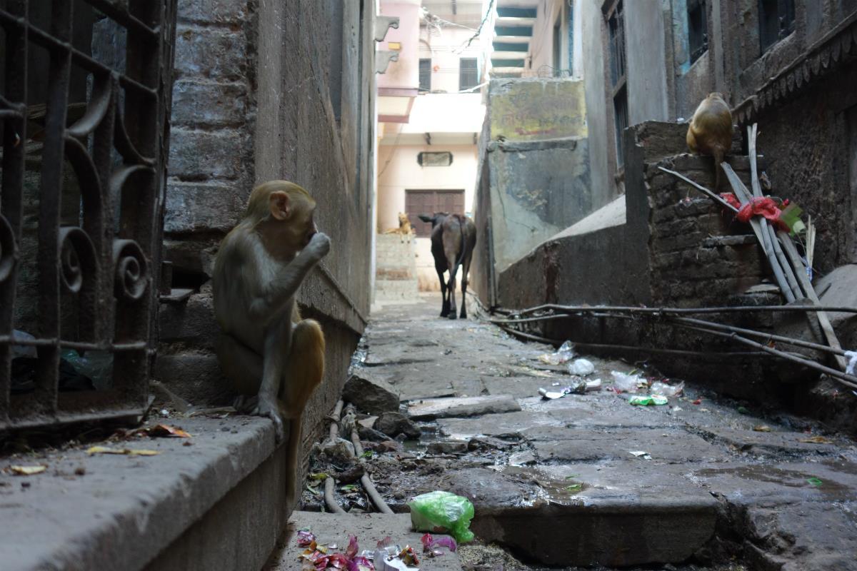 Małpka i Krowa