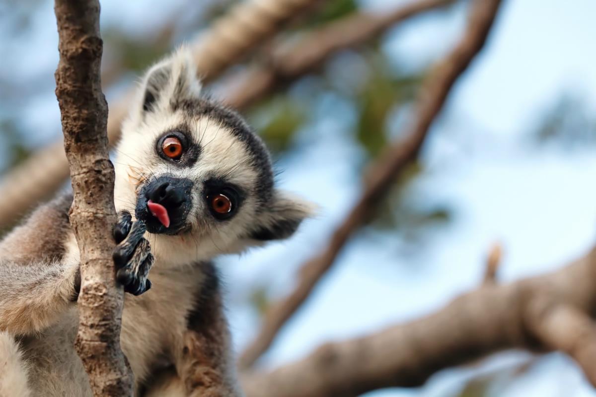 Madagaskar, LEmur