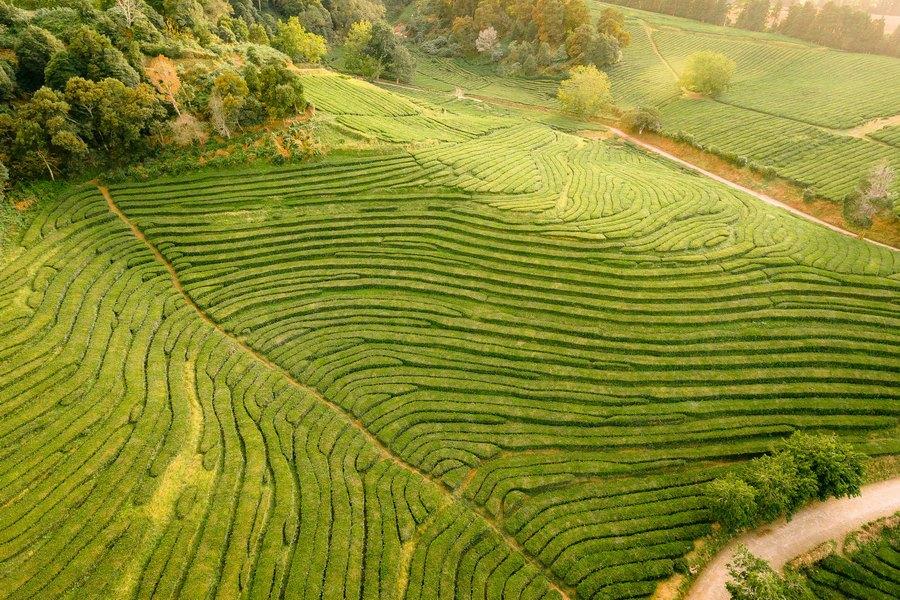 Plantacje herbaty na Azorach